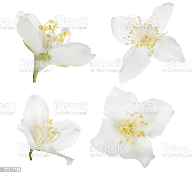 Four pure white isolated jasmine blooms picture id472342728?b=1&k=6&m=472342728&s=612x612&h=nnfvrrw gfamwxu jyo9mtuc6vtuonei4xns9dtlres=