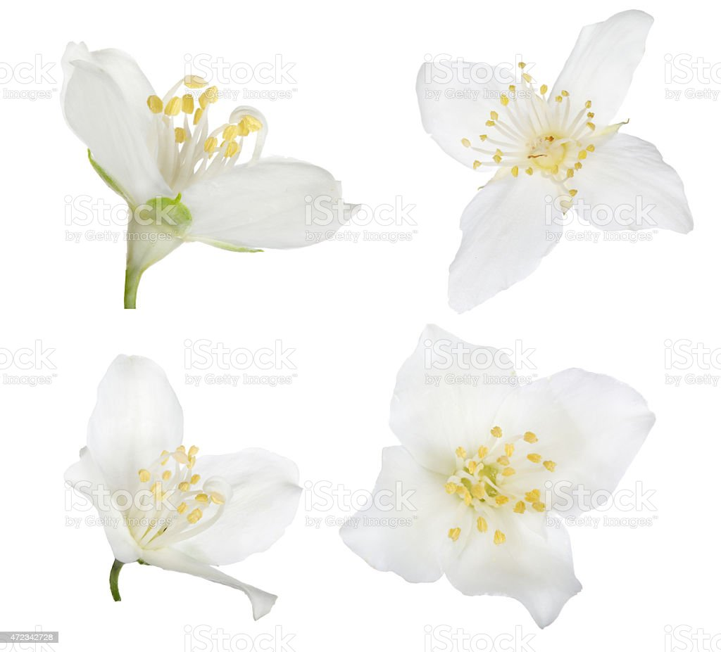 four pure white isolated jasmine blooms stock photo
