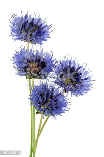 istock Four real miniature blue field cornflowers on thin green stems. 980013010