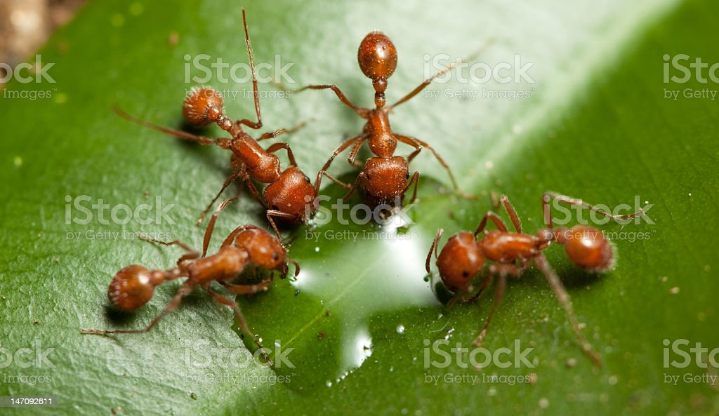 Four red ants drinking water from a green leaf stock photo