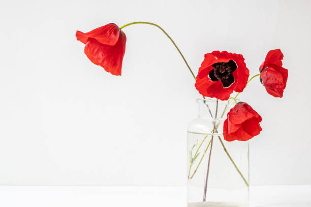 Four red delicate poppies in glass vase isolated on white background stock photo