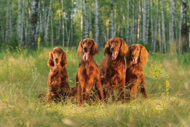 Four red dogs sit on background of green grass in rays of sunset Four red dogs sit on background of green grass in rays of sunset, outdoors, horizontal irish setter stock pictures, royalty-free photos & images