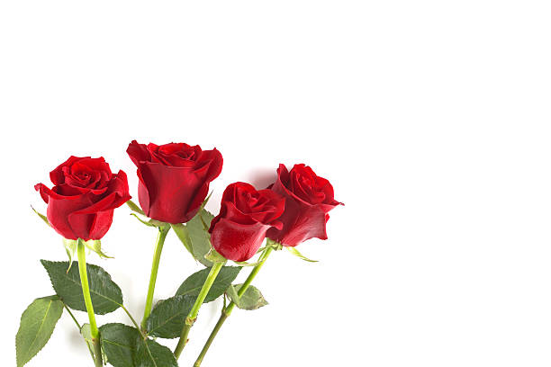 Four red roses isolated on white background picture id515835278?b=1&k=6&m=515835278&s=612x612&w=0&h=ac pe qbqaocy n 4tzqw cikll5ul3okp8m 8y2 vk=