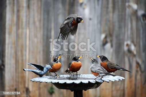 Four Robins in the Birdbath and One in Flight above on a Spring Day.