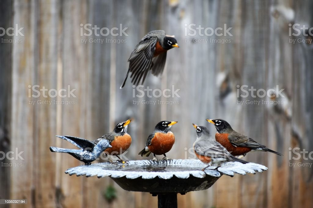 Four Robins in the Birdbath and One in Flight stock photo