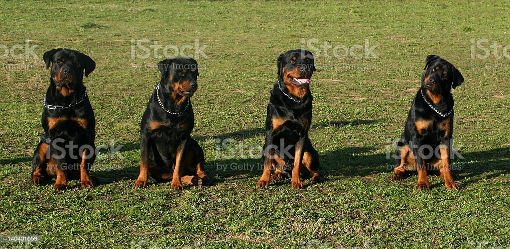 four rottweilers royalty-free stock photo