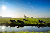 grazing cows in pasture at a clear blue sky, sun shining, water refection.