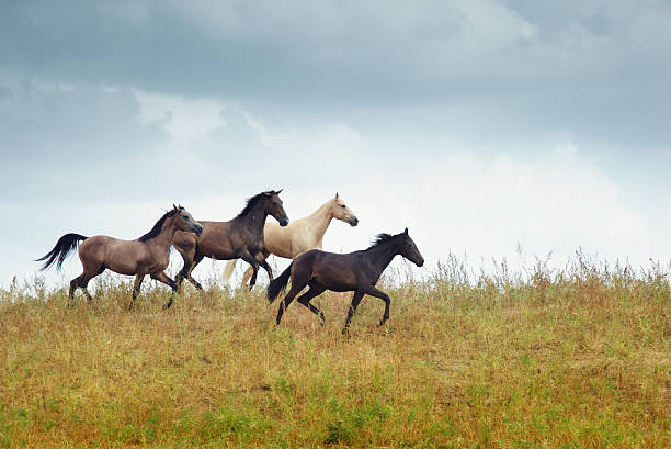 Four running horses in the steppe picture id119508914?b=1&k=6&m=119508914&s=612x612&w=0&h=asimh0dd7ovsk0bb hre6inaoxklij3bz2bnl6ye9w8=