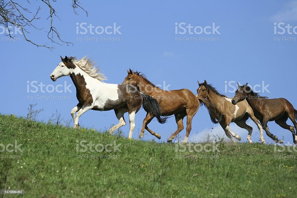 Four running horses stock photo