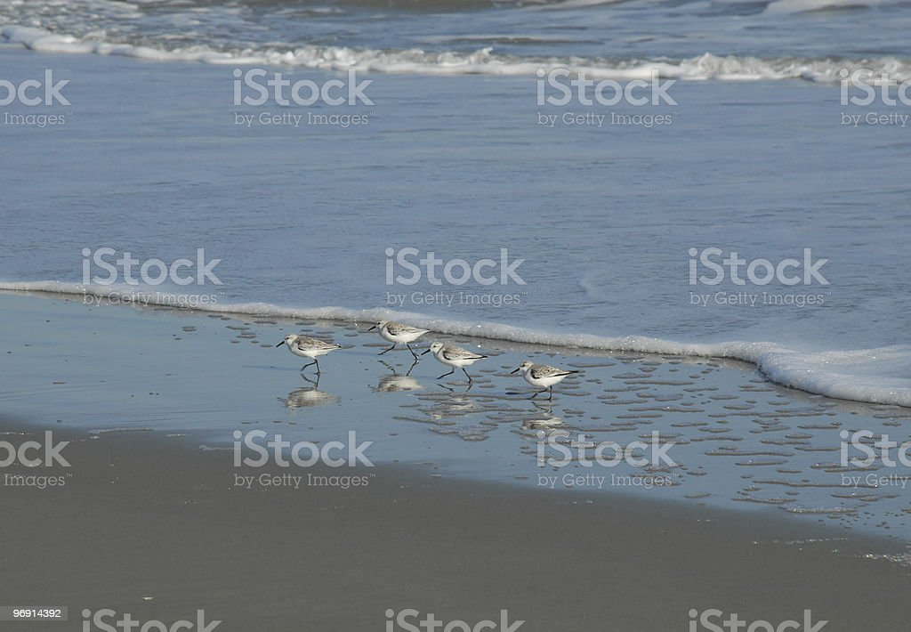 Four sanderlings run along a South Carolina beach royalty-free stock photo