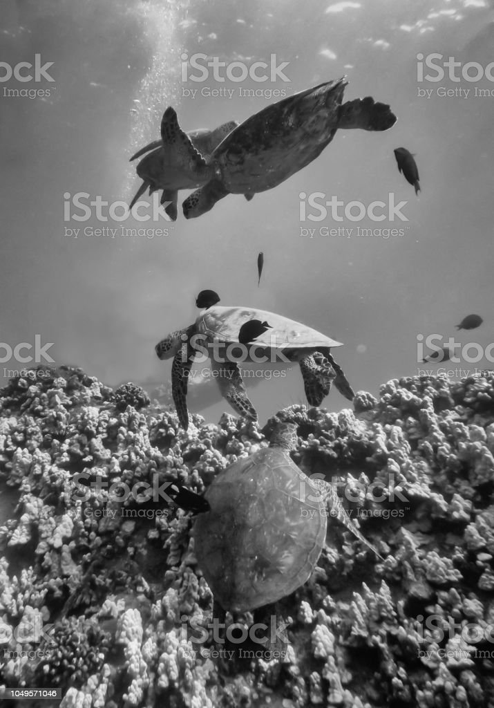 Four sea turtles together in vertical black and white image