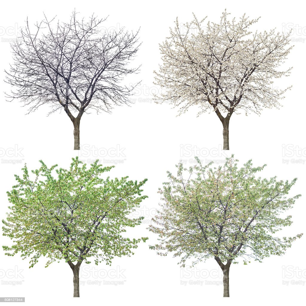Four Seasons Cherry Tree On White stock photo