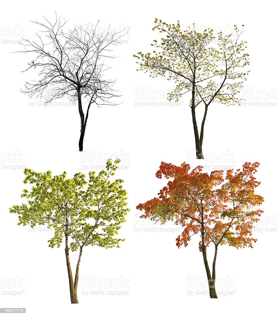 four seasons maple tree isoalted on white stock photo