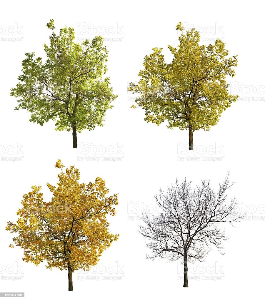 four seasons oak isolated on white stock photo