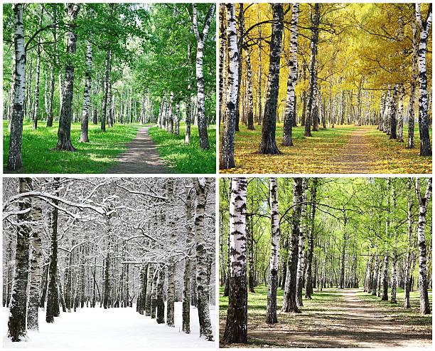 Four seasons von row Birken – Foto