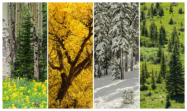 Four Seasons Trees in the four seasons in the Colorado Rocky Mountains four seasons stock pictures, royalty-free photos & images