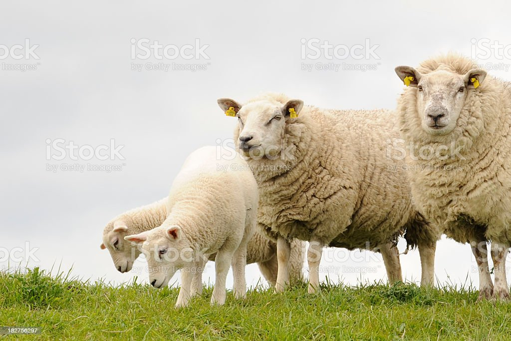 Four sheep in the Netherlands royalty-free stock photo