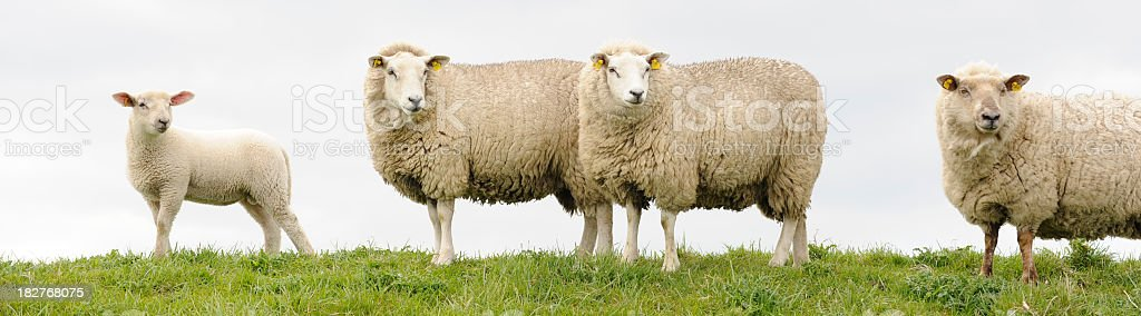 Four sheep looking at the same point royalty-free stock photo