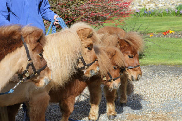 four shetland ponies grzing on bridle - whiteway pony stock photos and pictures