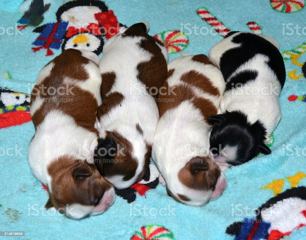 Four Shih Tzu Pups Stock Photo Download Image Now Istock