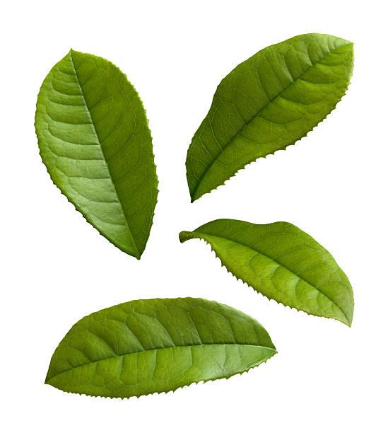 Four single tea leaves on a white background stock photo