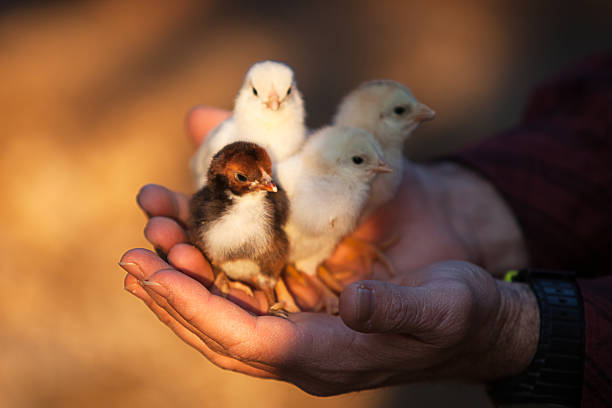 Four small chicken in a human hands stock photo