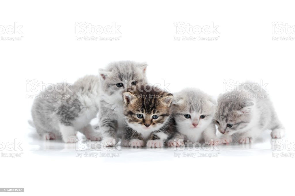 Four small cute grey kittens and one dark brown kitten are posing in white photo studio being anxious and curios about surrounding stock photo