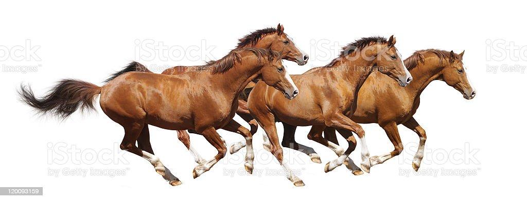 Four sorrel stallion gallop royalty-free stock photo