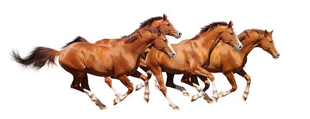 Four sorrel stallion gallop picture id120093159?b=1&k=6&m=120093159&s=612x612&w=0&h=zzitkgt8edamlqa haflpuf11clpi9gpmwdzd7lrt 4=