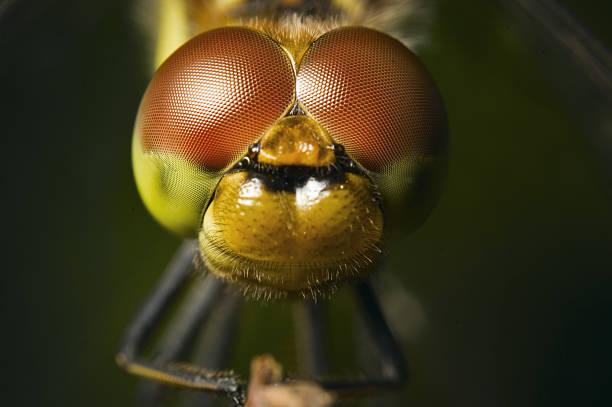 four spotted Chaser stock photo