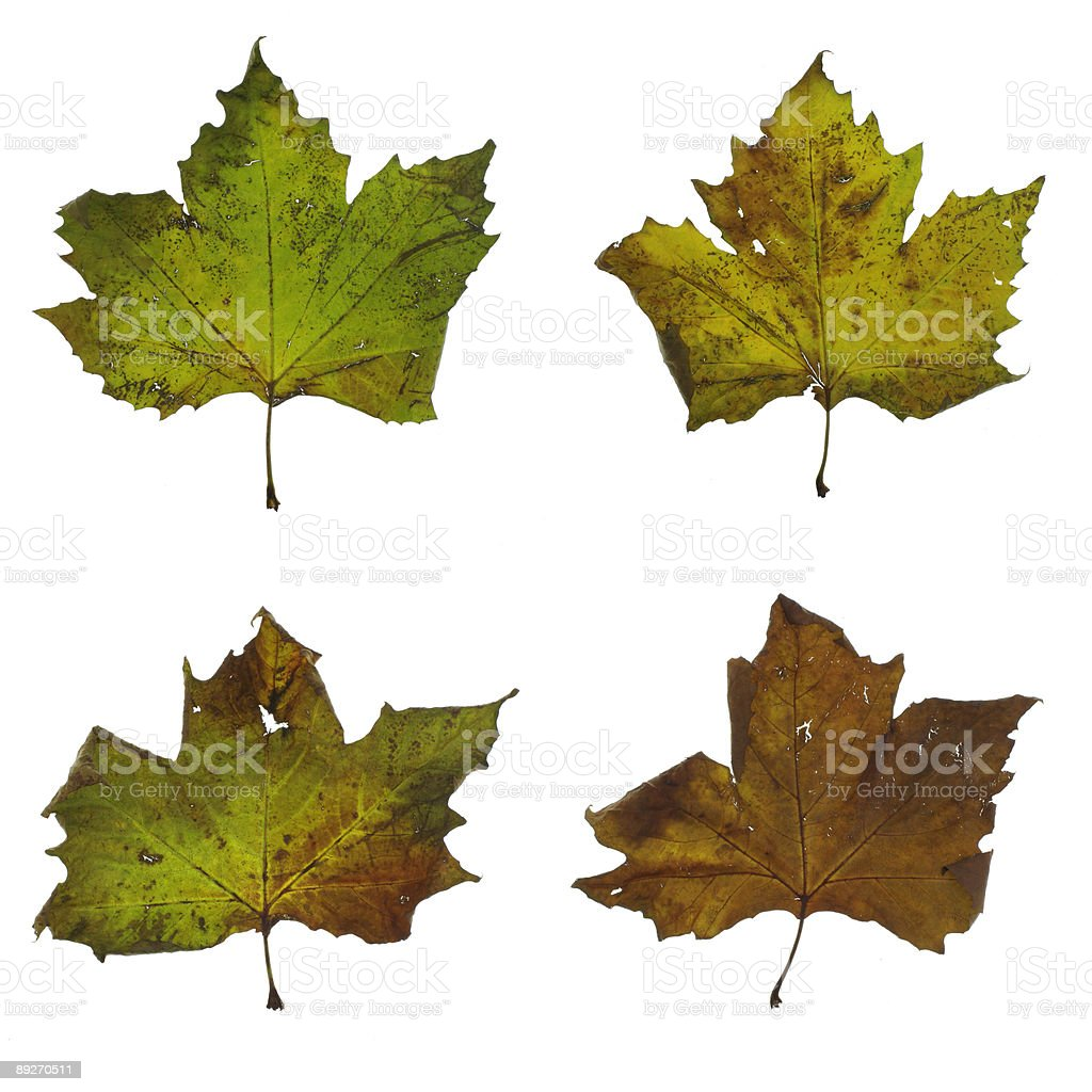 Four stages of leaf in fall stock photo