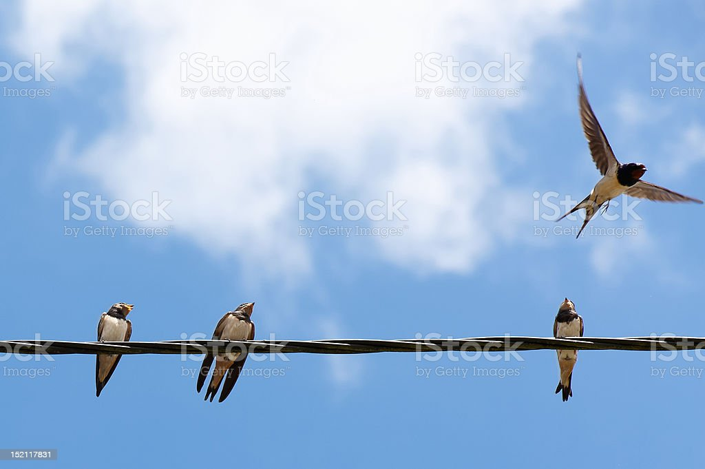 Four swallows stock photo