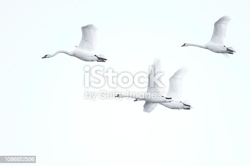 four swans flying against a light background
