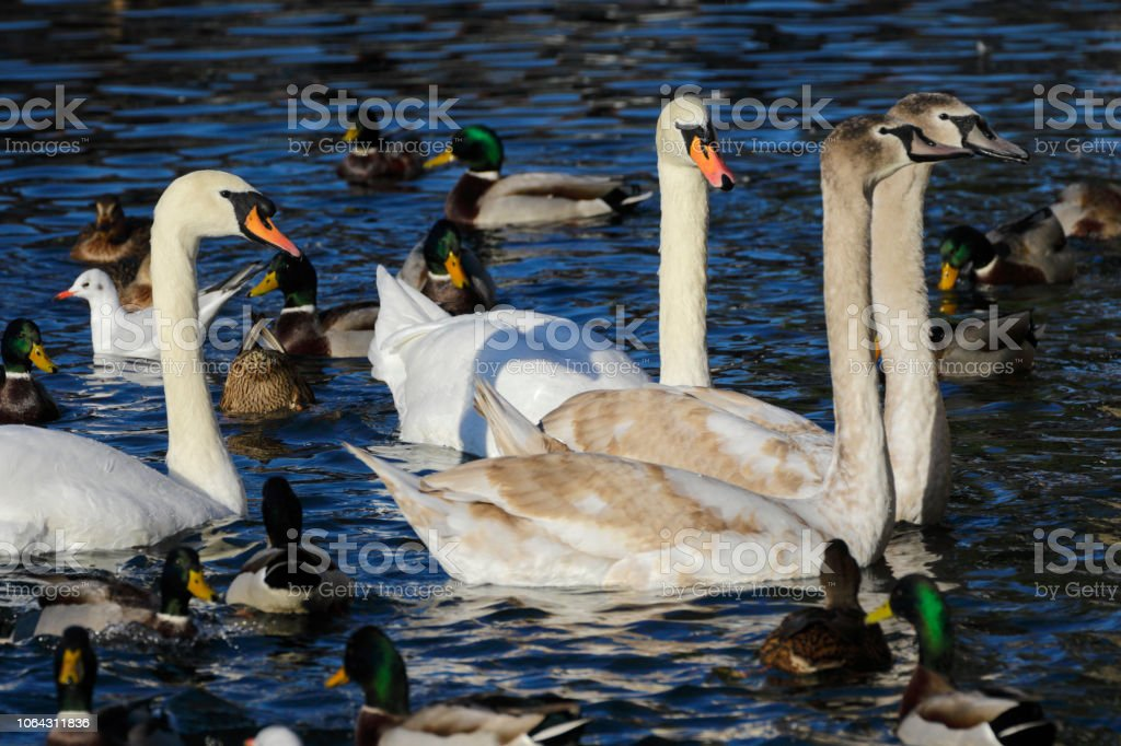 Four swans gulls and mallard ducks queuing up for bread stock photo