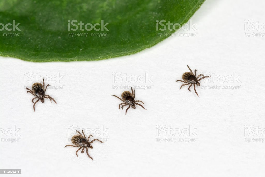 Four ticks are running away from green leaf. stock photo