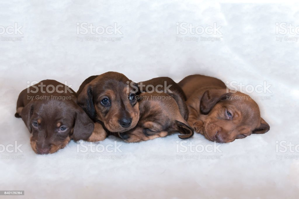 Four Tiny Miniature Dachshund Puppies Stock Photo Download Image Now Istock
