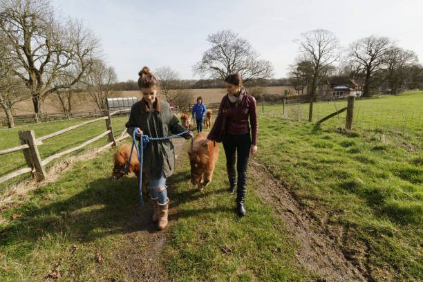 four tiny shetland ponies being led through countryside - whiteway pony stock photos and pictures