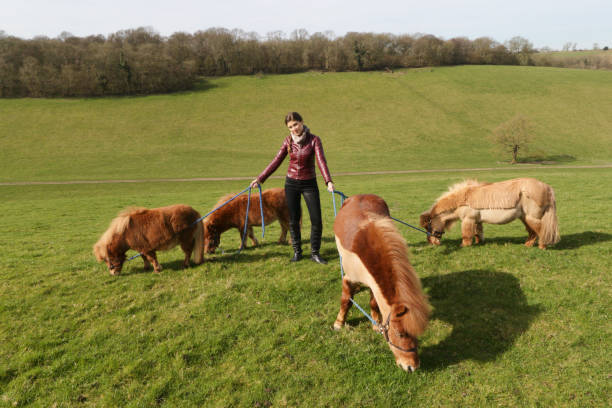 four tiny shetland ponies grazing with beautiful russian outdoor girl - whiteway pony stock photos and pictures