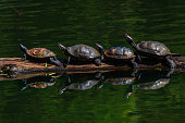 Four turtles on a log in the lake.