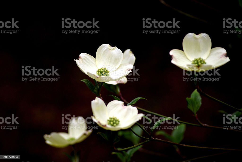 Four White Dogwood Flowers on a dark blurred background stock photo