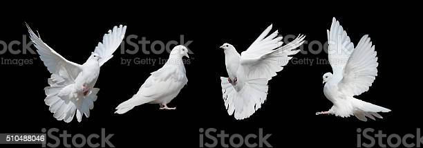 Four white doves picture id510488046?b=1&k=6&m=510488046&s=612x612&h=hyl2hnnlcyzqqkky7wtcq pu7hao7yuzipqizehlwyk=
