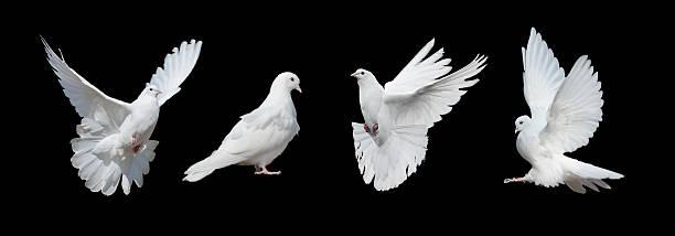 Four white doves picture id510488046?b=1&k=6&m=510488046&s=612x612&w=0&h=s9vlybv1xfe5k wattbilz 1j xssofzxpetwaqkqrw=