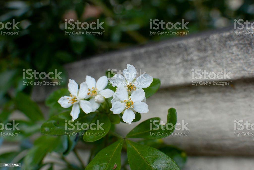 Four white flowers zbiór zdjęć royalty-free