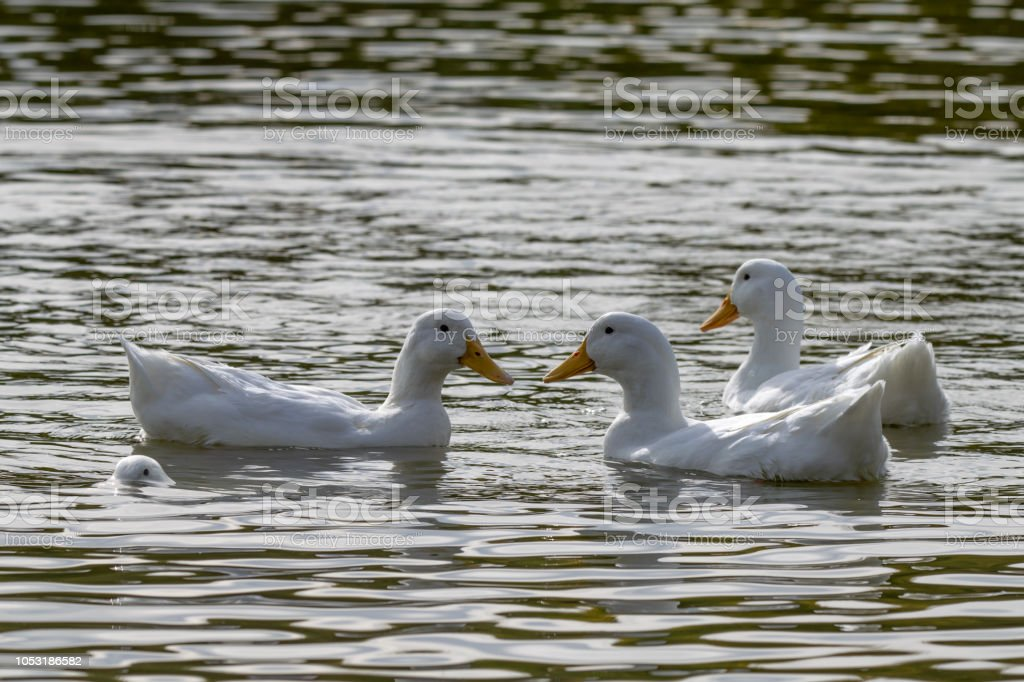 Four white heavy white ducks with one submerged below the water surface stock photo