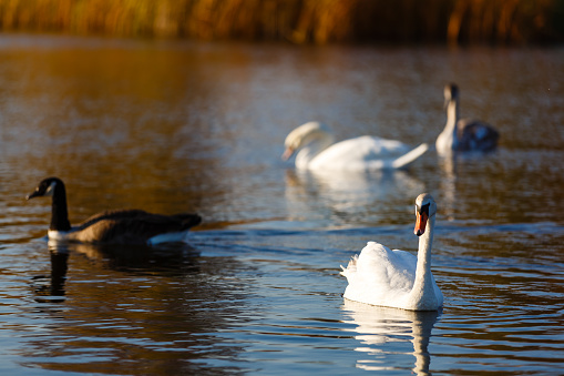 Four white swans floats in blue water of lake  pitching black