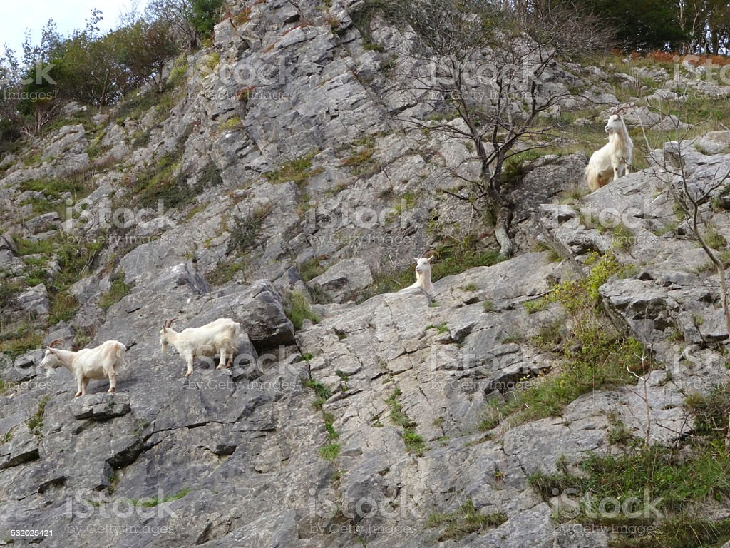 Four wild, white mountain goats climbing on steep rocks, cliff-face stock photo
