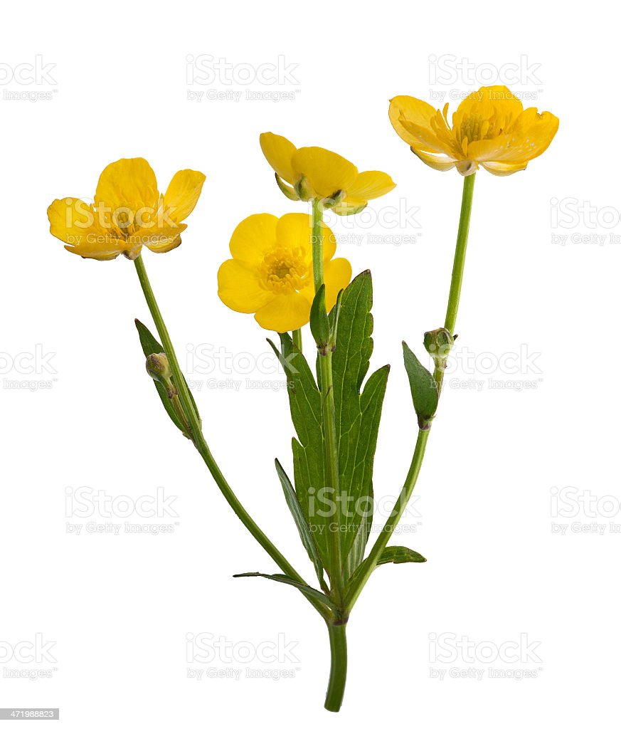 four yellow buttercup flowers stock photo