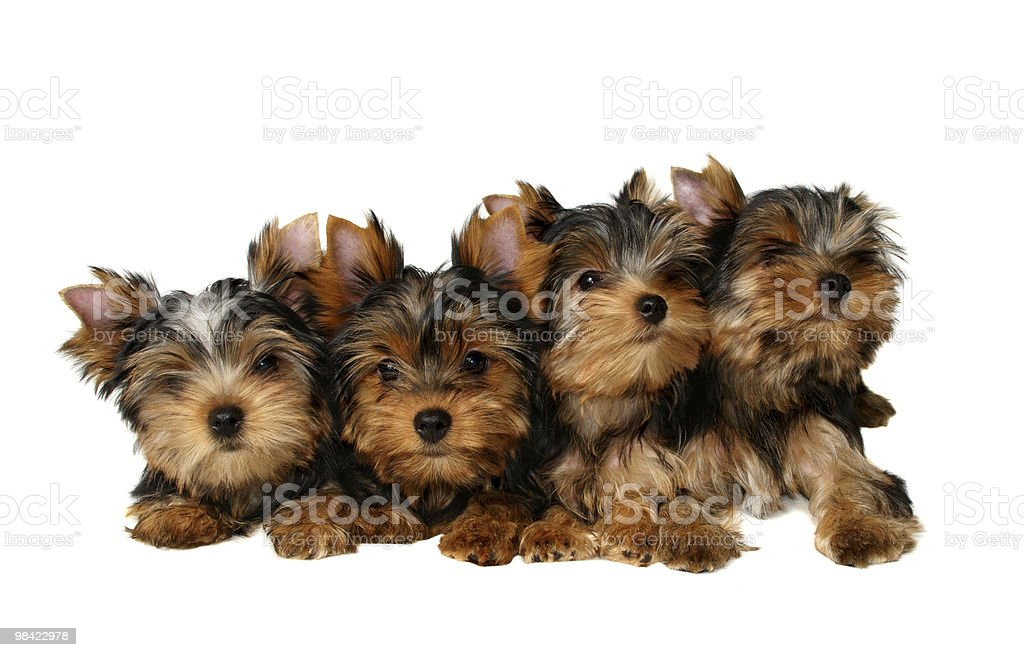 Four yorkshire puppies royalty-free stock photo