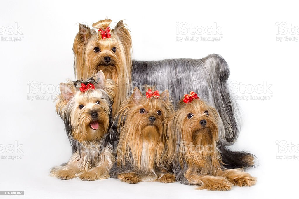 Four Yorkshireterriers on white background stock photo