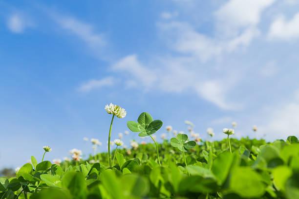 four-leaf clover and blue sky - boa sorte - fotografias e filmes do acervo